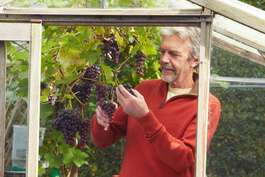 Схема посадки винограда в теплице