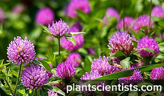 Yonca çayır Bitkinin terapötik özellikleri 17