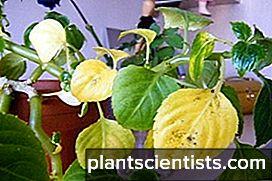 Почему желтеют листья бальзамина
