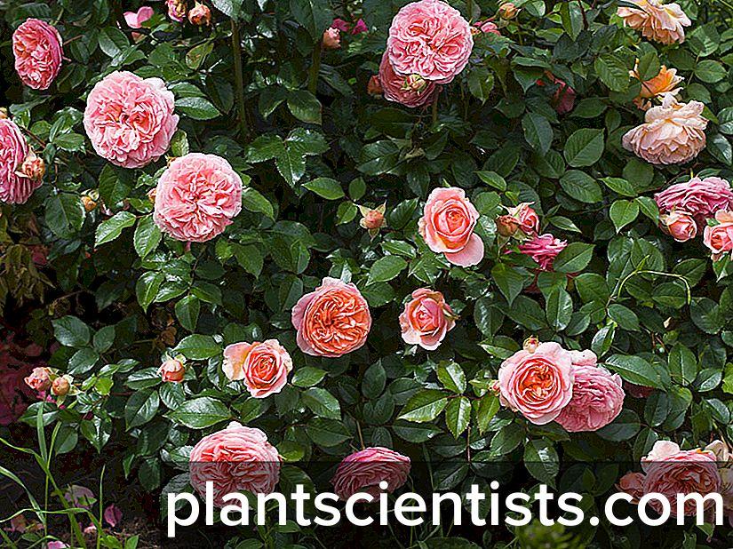Особенности розы Чиппендейл выращивание и уход