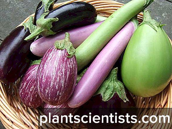 Bir serada patlıcan nasıl yetiştirilir: dikim ve bakım özellikleri