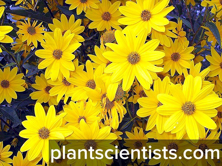 Astra. Bahçede çiçek dikme ve bakım