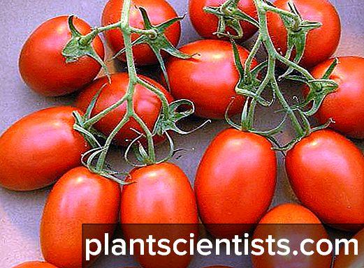 Kırmızı ok (domates): çeşitlilik açıklaması ve büyüyen özellikler