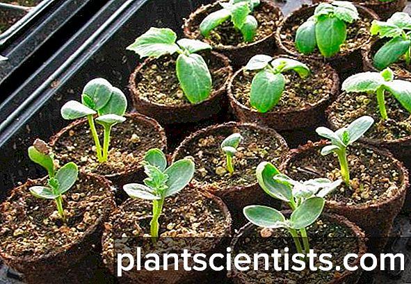 İyi bir hasat elde etmek için açık alanda karpuz yetiştirmek
