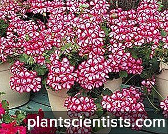 Tumbuh-tumbuhan menarik membuat bunga-bunga yang subur dari pelbagai warna dan daun bulat yang lancar, berbeza dengan spesies geranium yang lain.