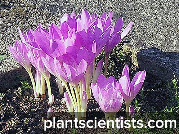Colchicum (sedir ağacı): Bitki dikimi ve bakımı