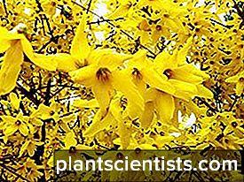 Forsythia: ekim ve bakım, yetiştirme ve yetiştirme