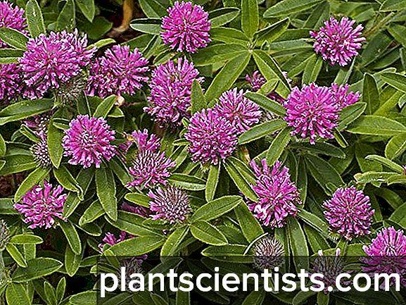 Yonca çayır Bitkinin terapötik özellikleri 33