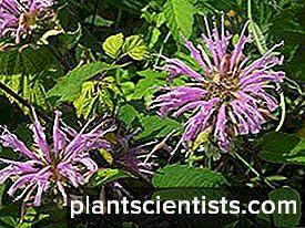Monarda. Bitki dikimi ve bakımı 27