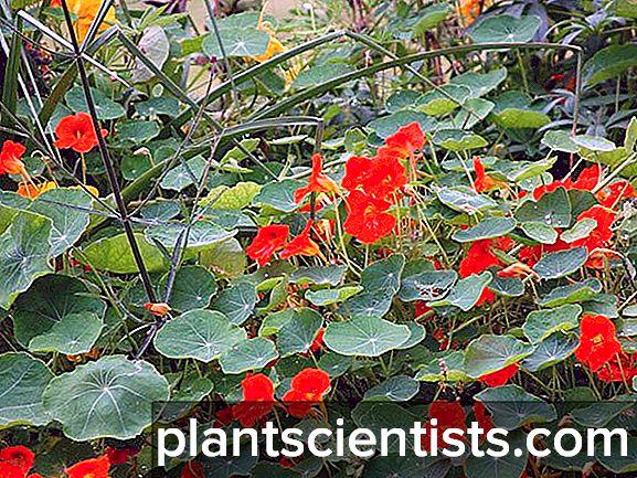 Nasturtium. Bitkinin yararlı özellikleri