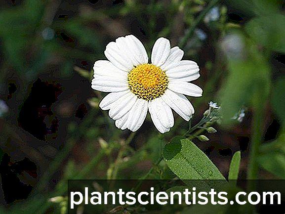 Tohumlardan Pyrethrum: Büyüyen ve Bakım